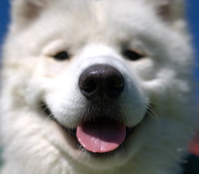 Самоед, самоедская собака, арктический шпиц (Samoyed)