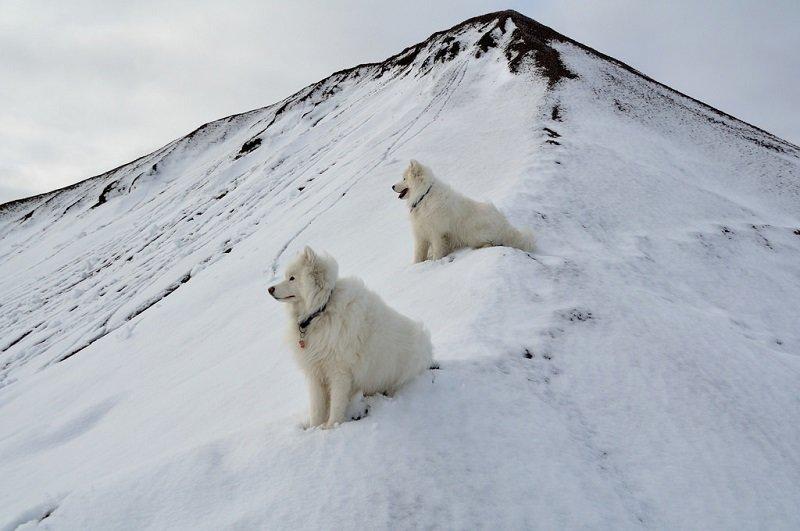 Самоедская собака (самоед). Фото