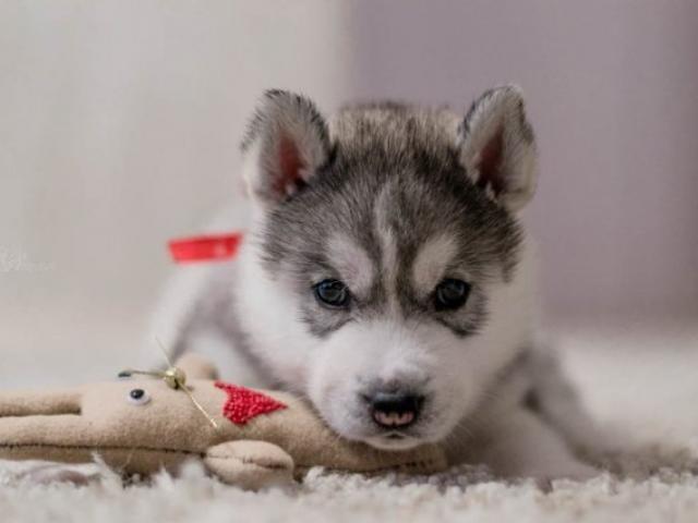 Собака. Сибирский хаски . Продаю в Гомеле