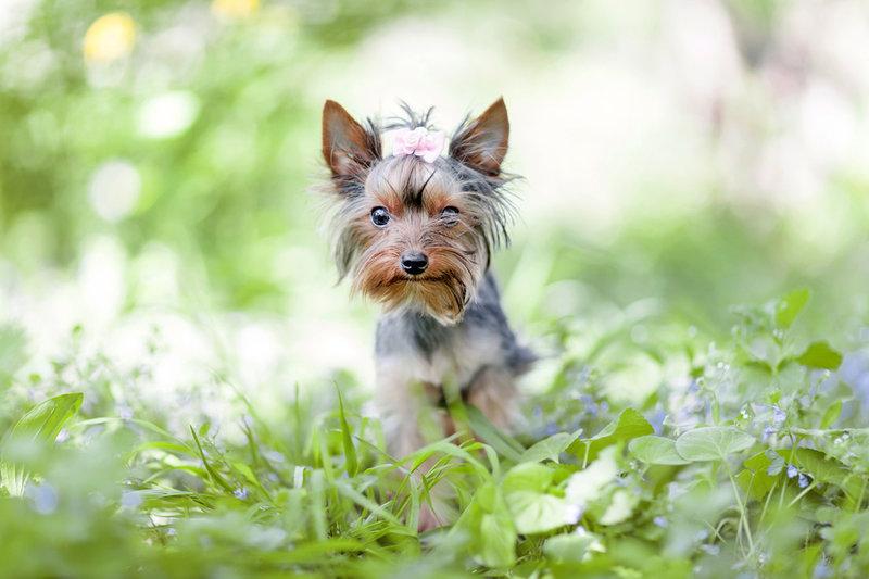 Собаки Йоркширский терьер Животные