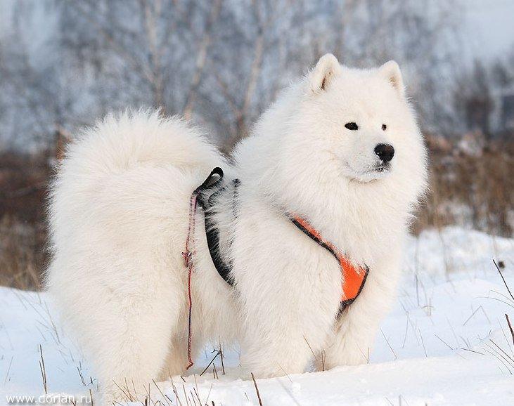 """Спортивный клуб """"Снежные псы""""  » Blog Archive   » Стандарт породы самоедская собака (самоед) FCI"""