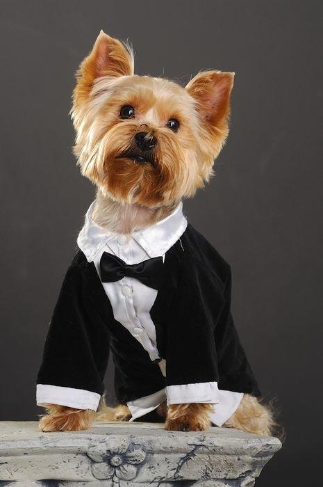 СВАДЕБНАЯ МОДА для СОБАЧЕК  или  СВАДЬБА С ЧЕТВЕРОЛАПЫМИ ДРУЗЬЯМИ. :: йоркширские терьеры или просто йорки. Собаки и щенки.