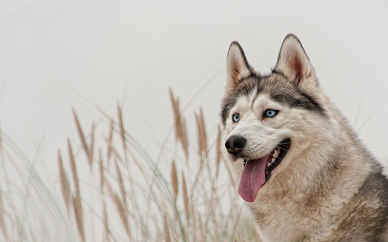 взгляд, хаски, сибирский хаски, собака, голубые глаза