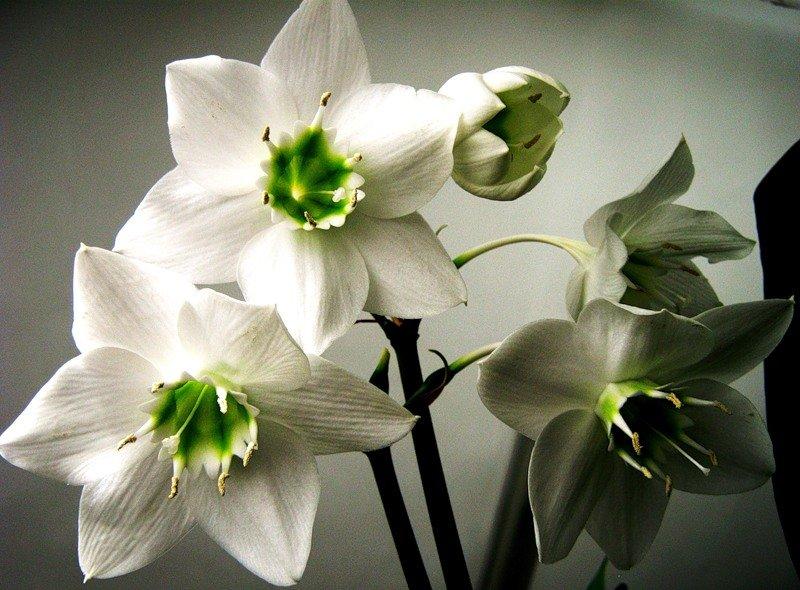 эухарис фото цветов собиралась идти свадьбу