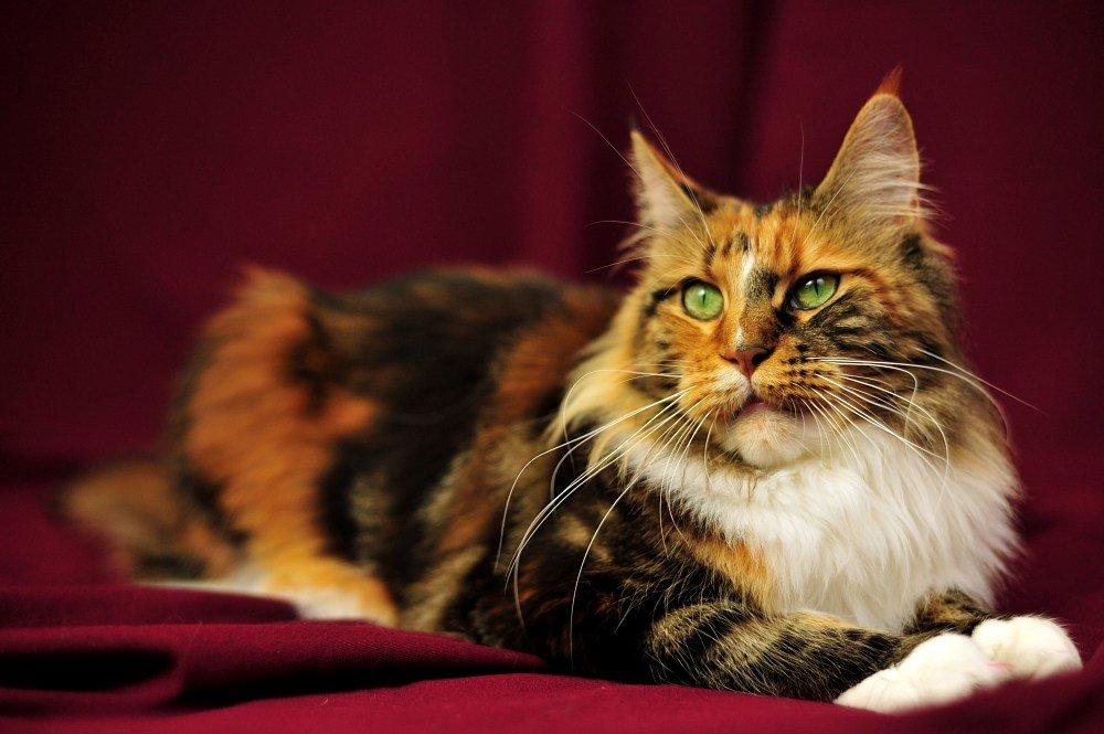 Пород кошек мейн кун с картинками