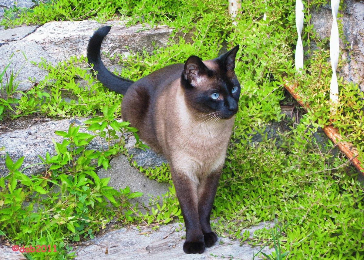 сиамская кошка здоровье