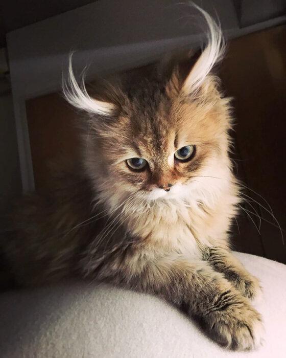 Очаровательный котёнок с «рожками антилопы»