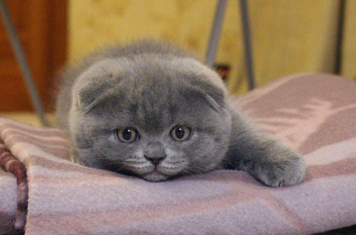 британские вислоухие котята в картинках чай по-вкусу сахар