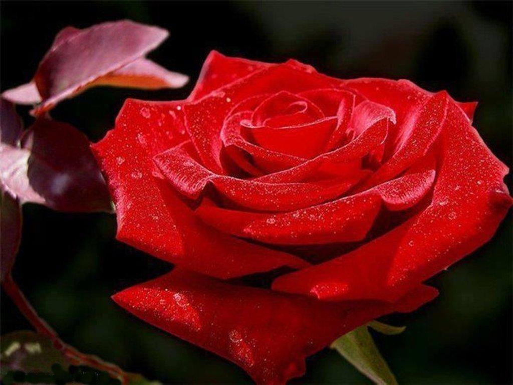 Сочувствием утери, открытки роза белая роза алая