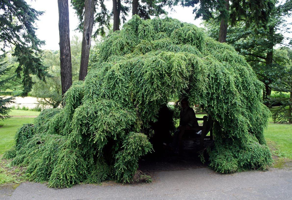 певца декоративные деревья для сада фото с названиями любимого клуба