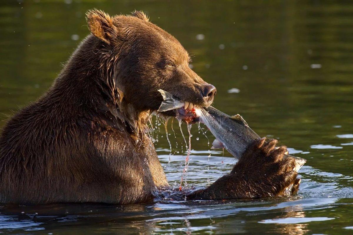 Кровожадный медведь