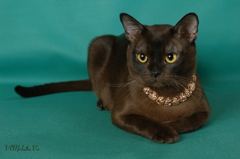 бурманская котята фото