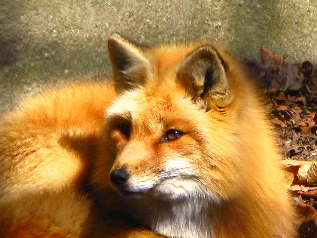 Fox by White-Winter-Fox