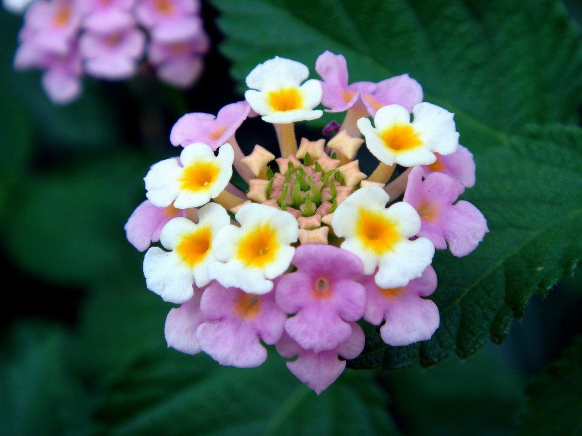 Лантана цветок картинки