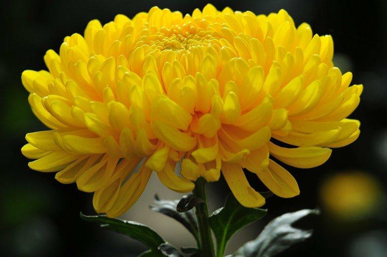 Картинки хризантемы анимашки, днем