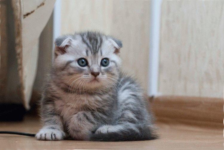 фото кошки красивые вислоухие