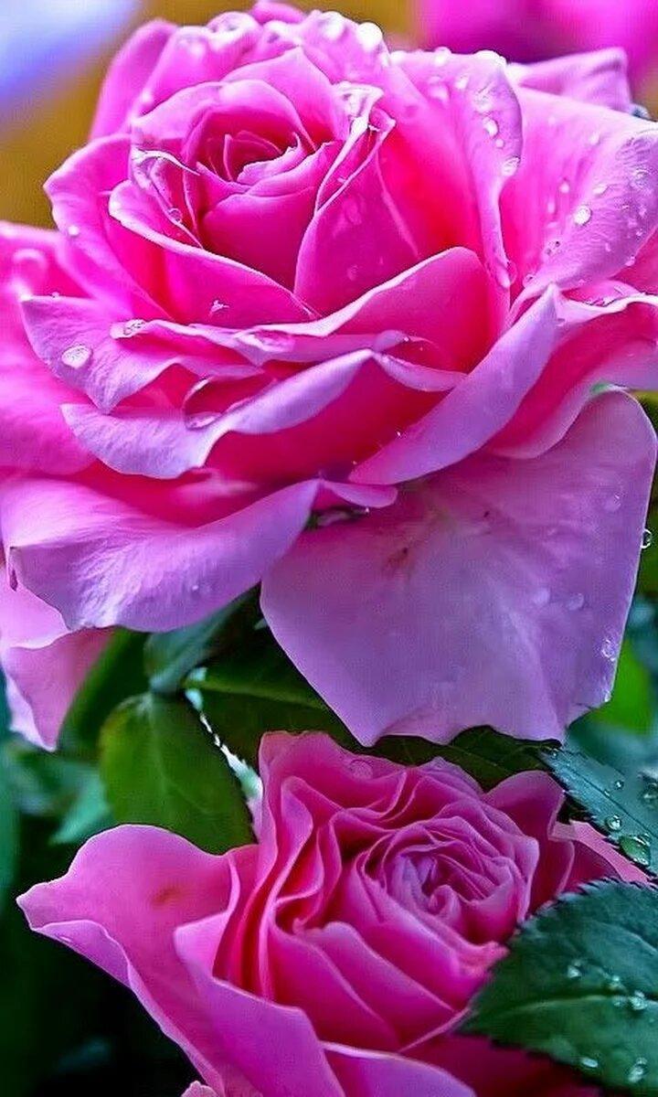 Новый год, розовые розы картинки красивые вертикальные