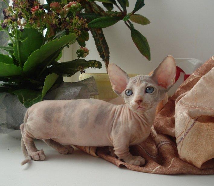 Из-за отсутствия шерсти, тело (кожный покров) кошки породы Бамбино быстро пачкается, поэтому минимум два раза в месяц нужно проводить водные процедуры.