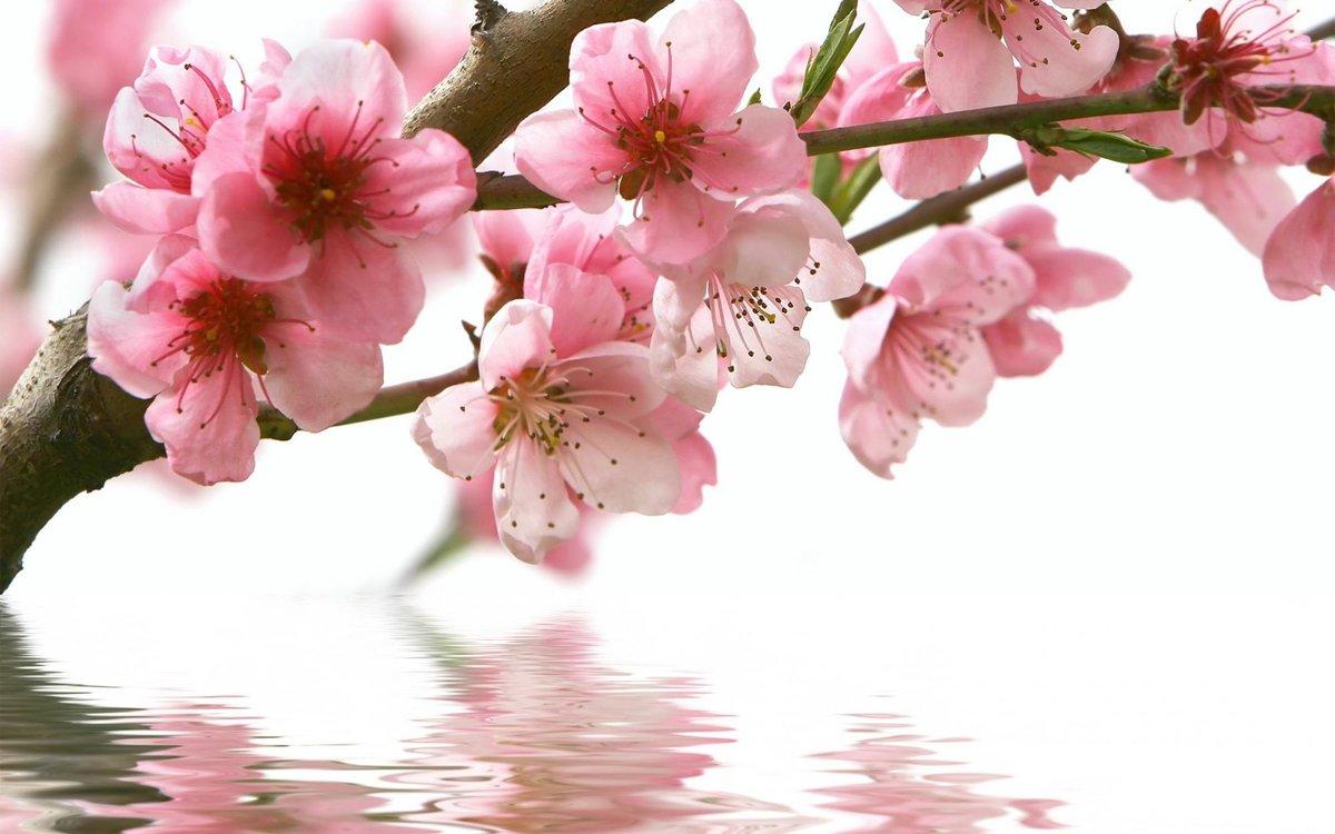 Открытка цветущая вишня, своими руками