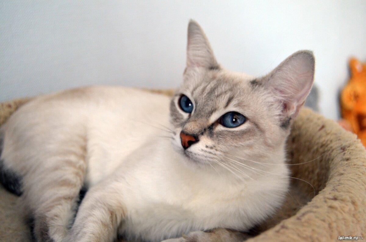 Отмечается, что Ñарактер тайской кошки – это как человеческие отпечатки пальцев, не существует эÑ'Ð¸Ñ Ð¶Ð¸Ð²Ð¾Ñ'Ð½Ñ‹Ñ Ñ одинаковым темпераментом