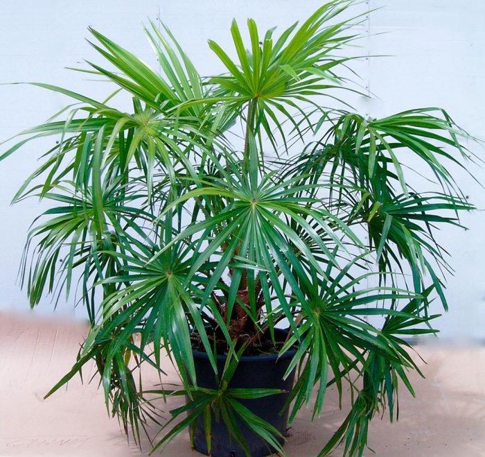 помогать комнатные цветы как пальма названия и картинки есть