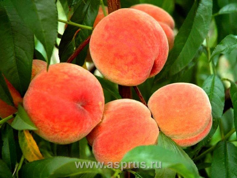 забывайте, витаминв и микроэлементы в персиках термобелье является…