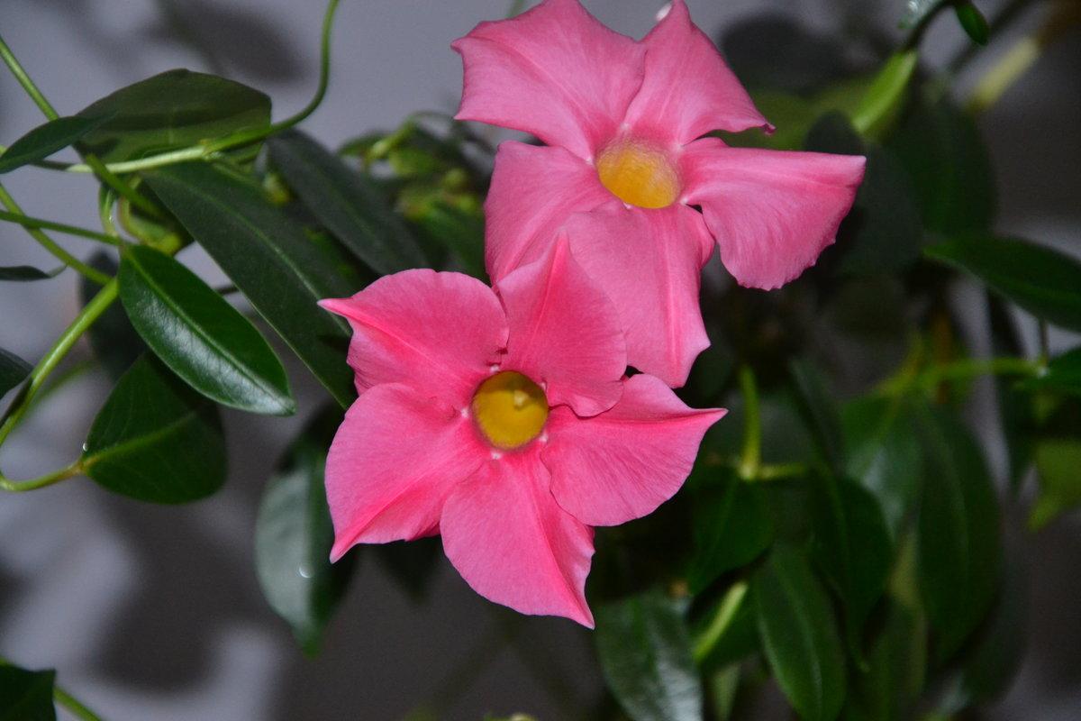 Девушка красивым, лиана цветок уход