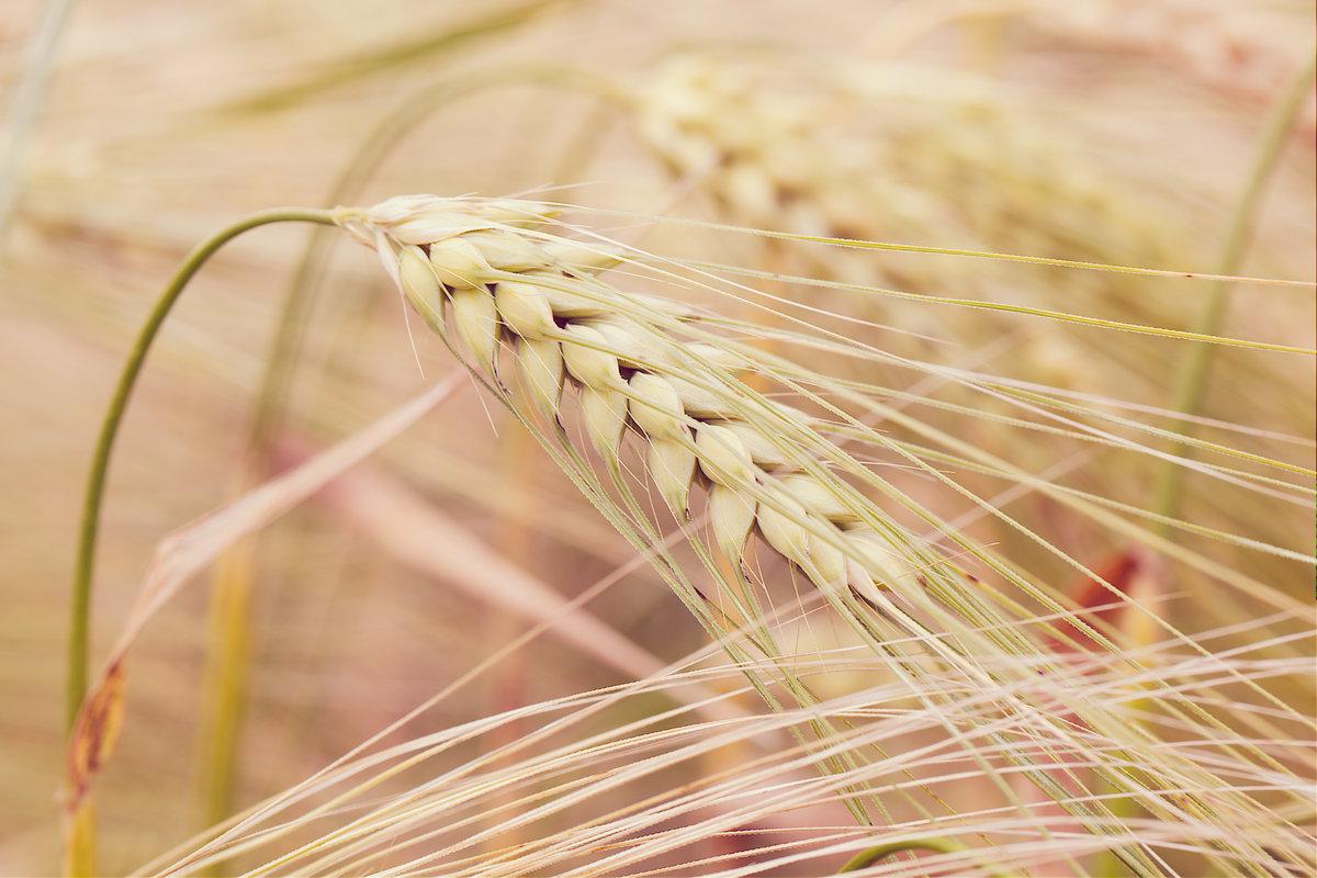 Картинка с колосками пшеницы