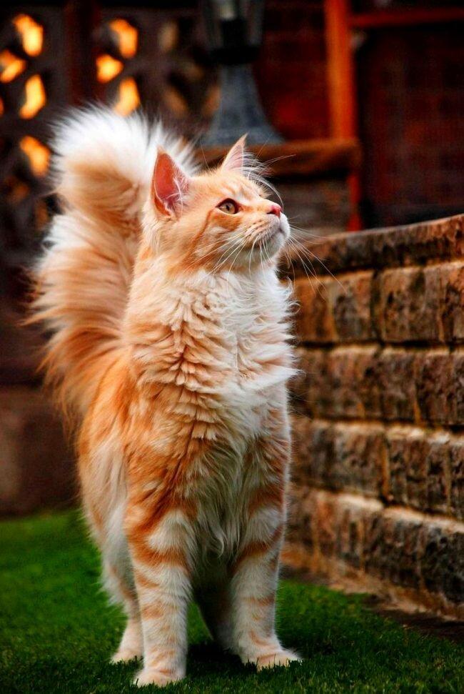 самая большая домашняя кошка.