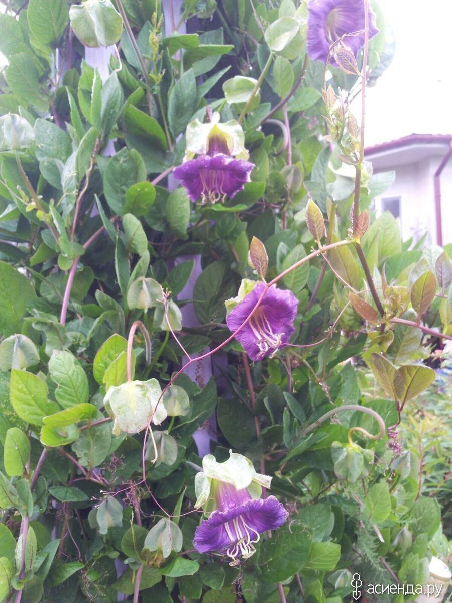 Букет подснежников, купить колокольчик вьющийся цветы цена