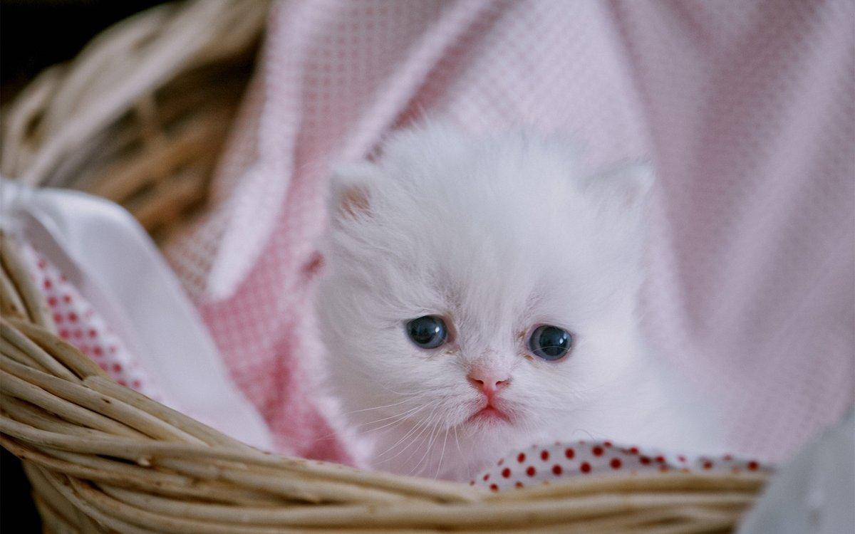 Днем, картинки белых котят милых