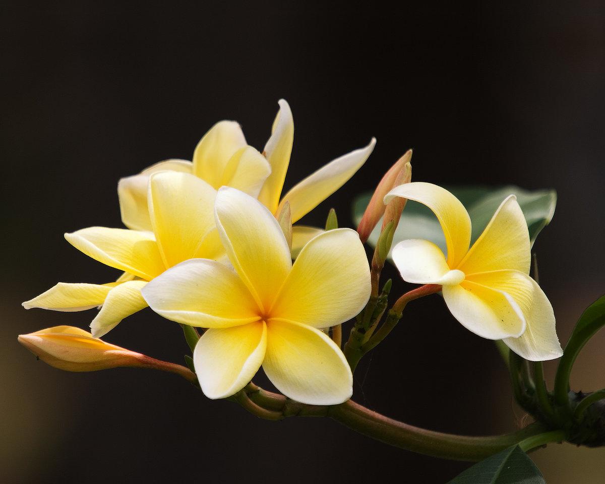 Горшках, цветы франжипани в алмате купить