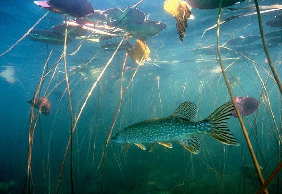 много сотен фото речной рыбы под водой могут