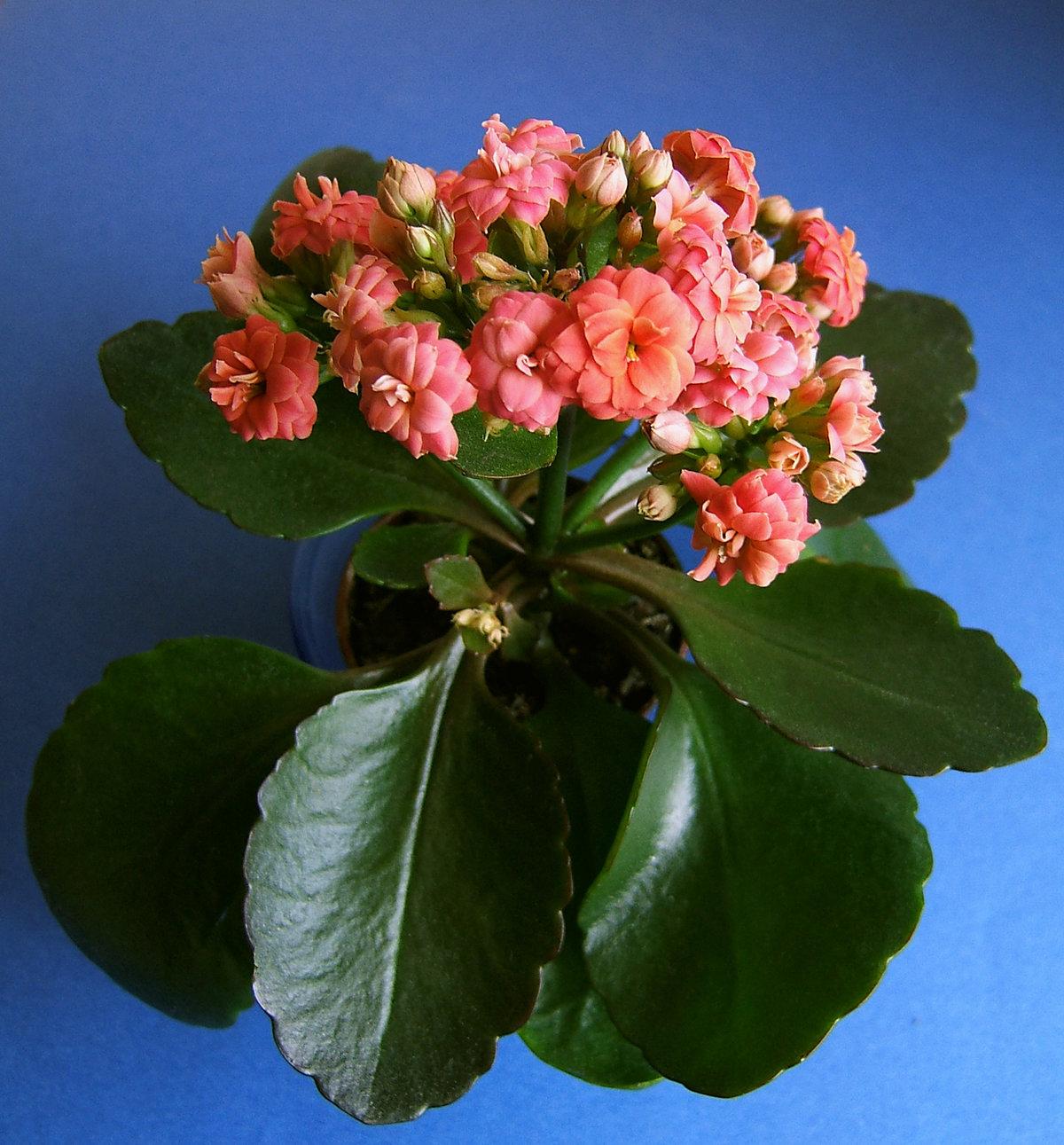 Пожеланиями здоровья, картинки с цветами каланхоэ