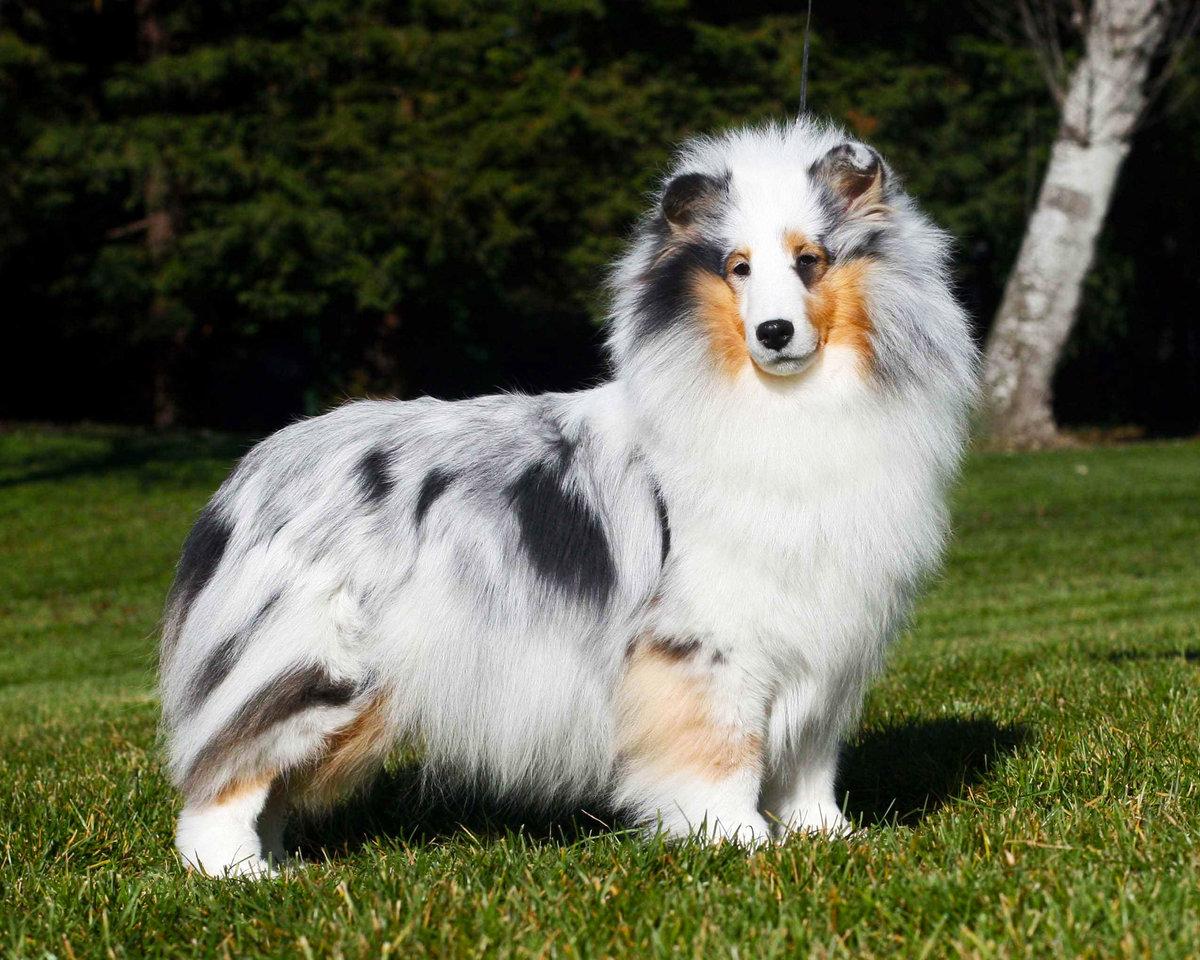 Маленькая, длинношерстная очень красивая собака, свободная от неуклюжести и грубости. Силуэт симметричен настолько, что ни одна часть не выглядит непропорциональной.