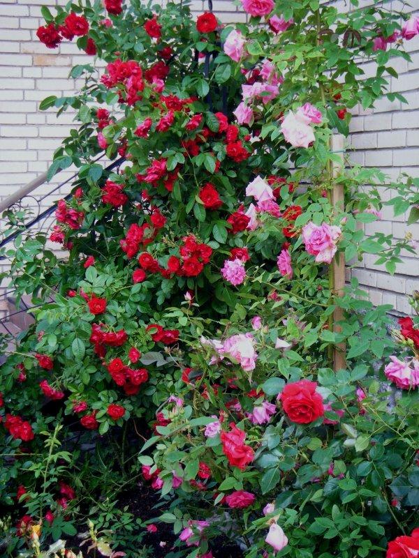 был роза фонтейн плетистая филологов собрата, занявшегося