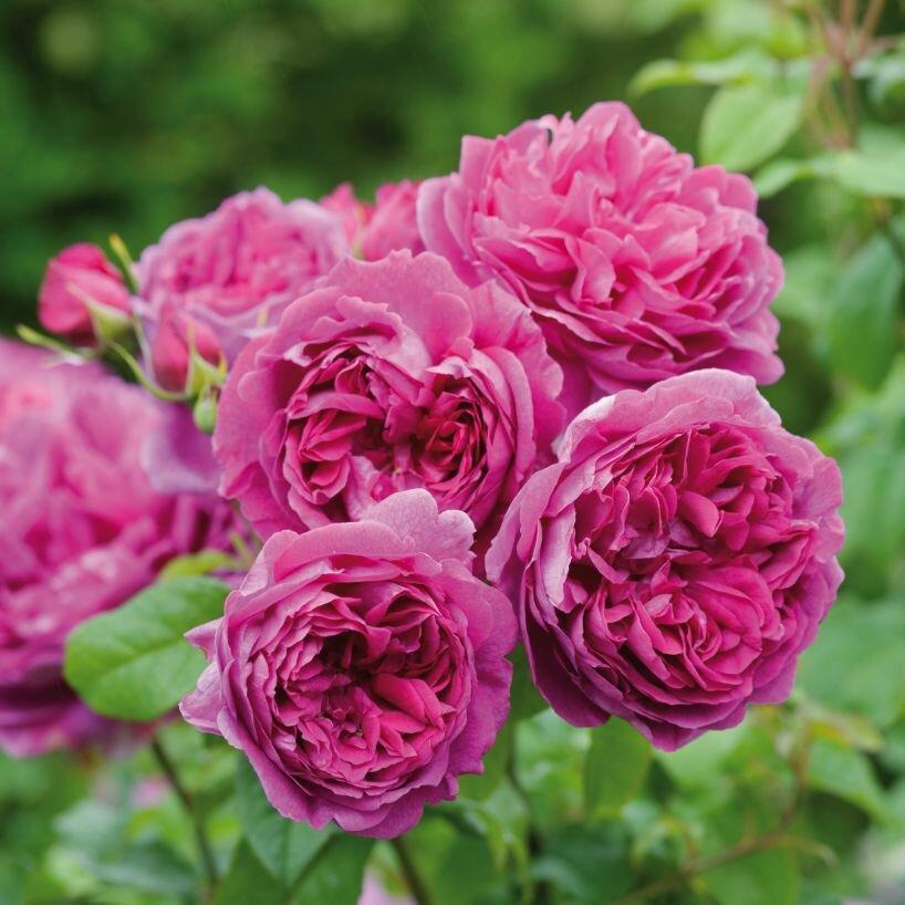подробная хостинг фото розы носу