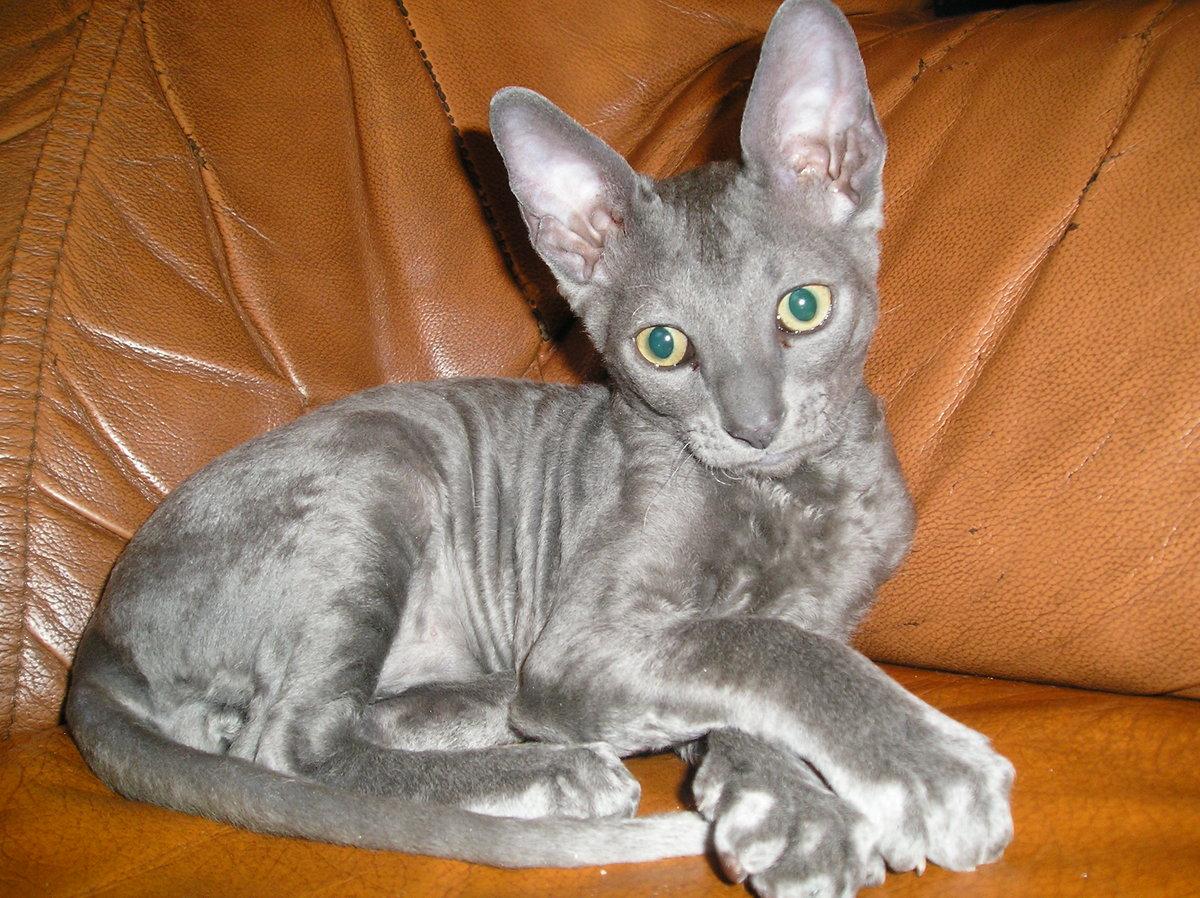 Кошки донской сфинкс фото однотонная