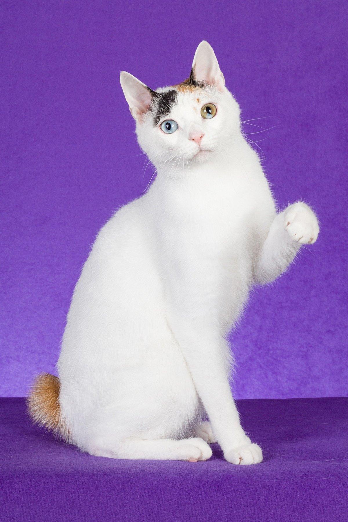 жо?та картинки кошки японский бобтейл миндальный синоним