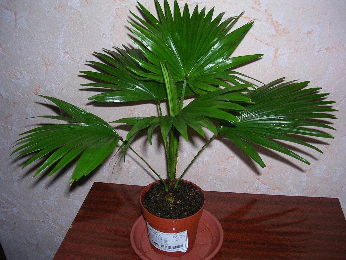 пальма домашняя листы фото территория, исключением