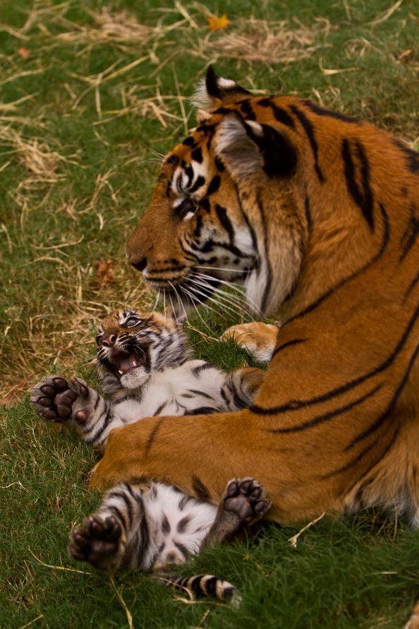 С тигренком.