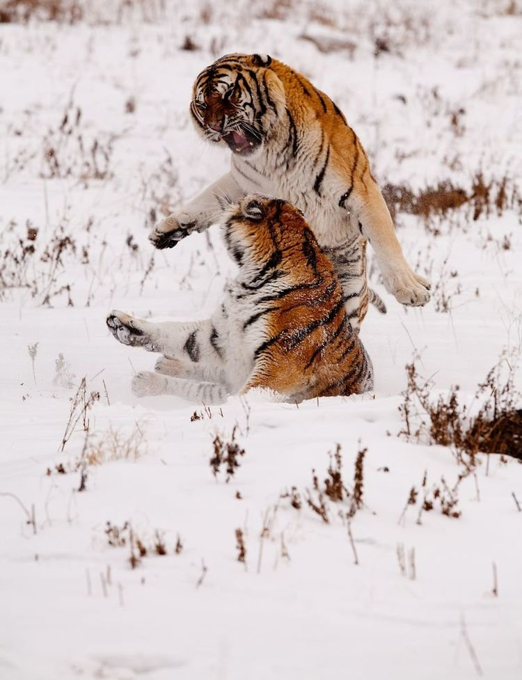 Амой, или тигр Ксиамен — подвид тигра, который наÑодится под наибольшей угрозой исчезновения