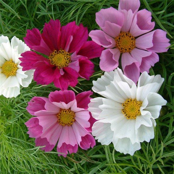 Открытки для, открытки садовых цветов