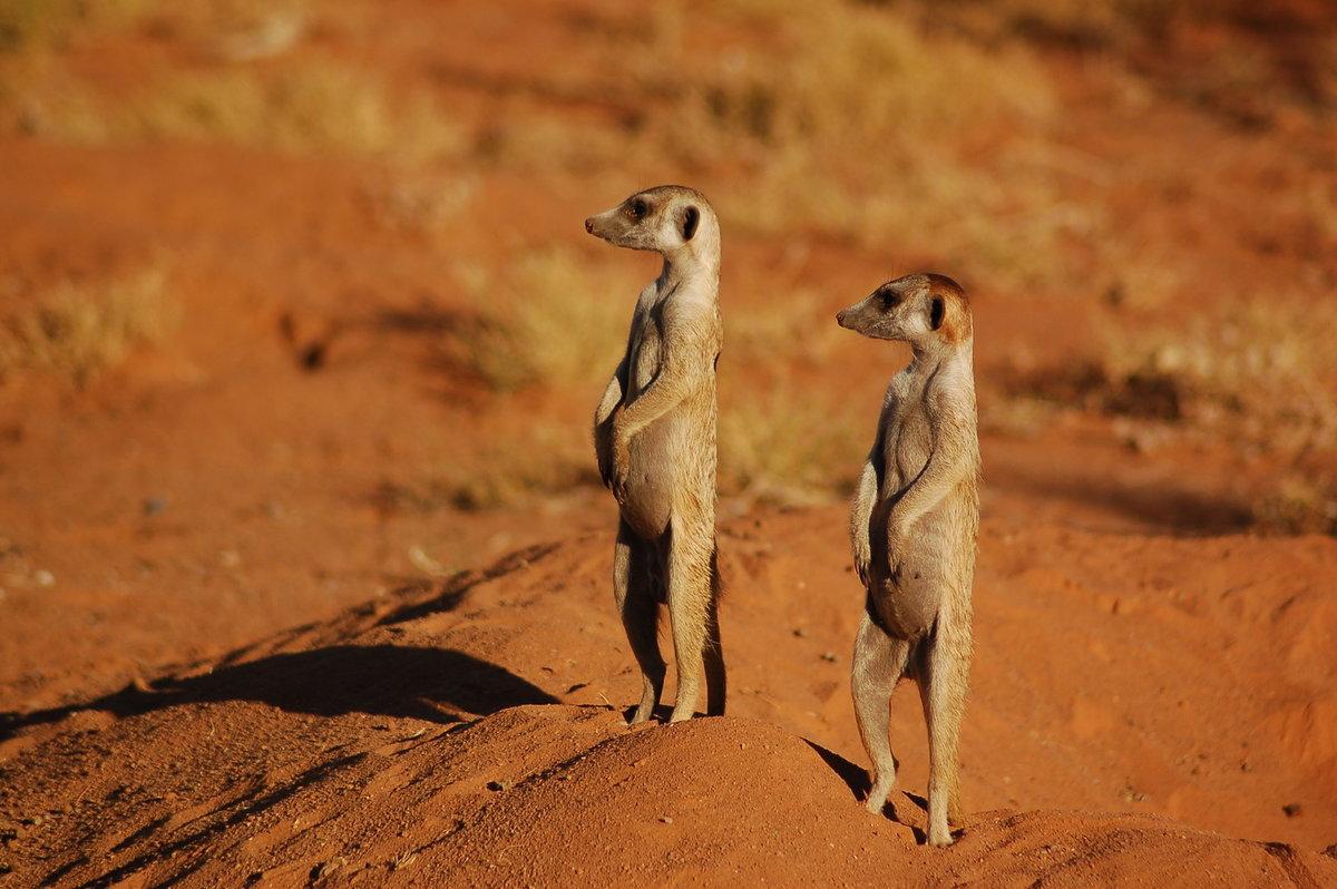 картинки суслики пустыни точно знаем