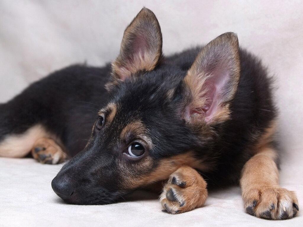При покупке собаки ее внимательно осматривают. У здорового породистого щенка немецкой овчарки: