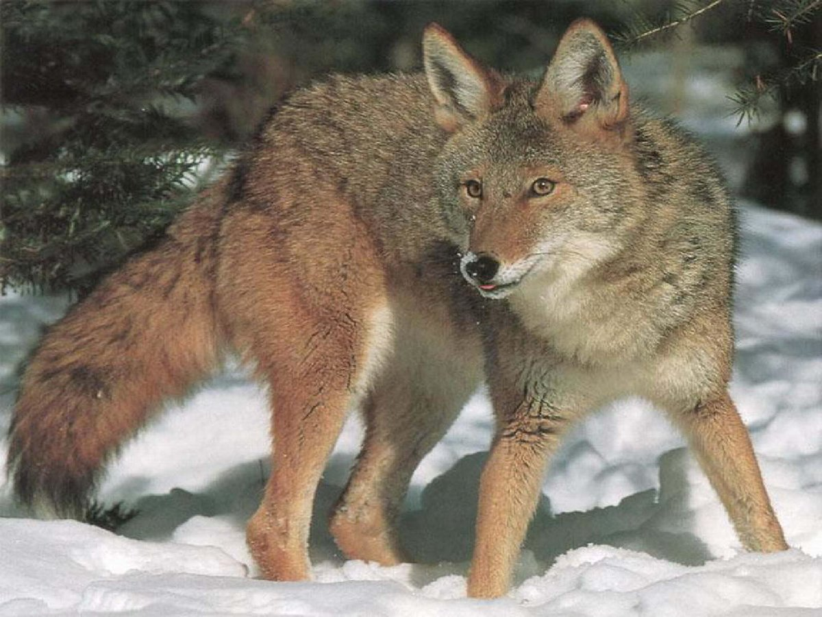 Картинки с изображением лисы медведя волка зайца совы и их детенышей, настроение