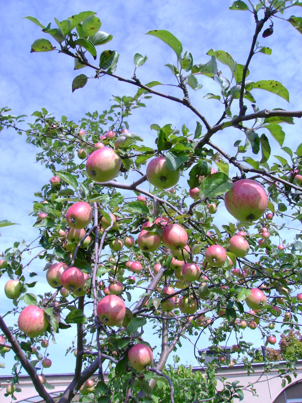 Яблоня яблочный спас описание фото отзывы