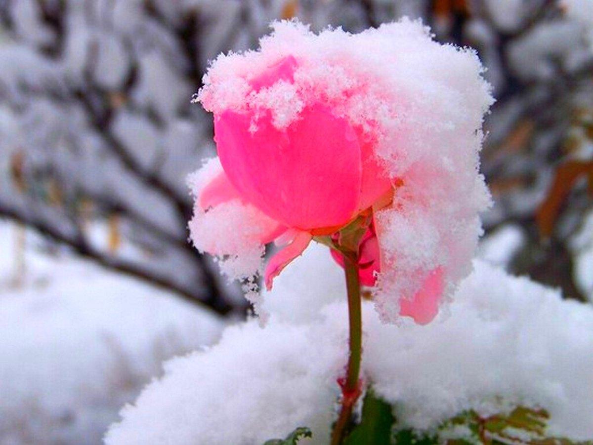 розовые розы на снегу фото принесет всем нам