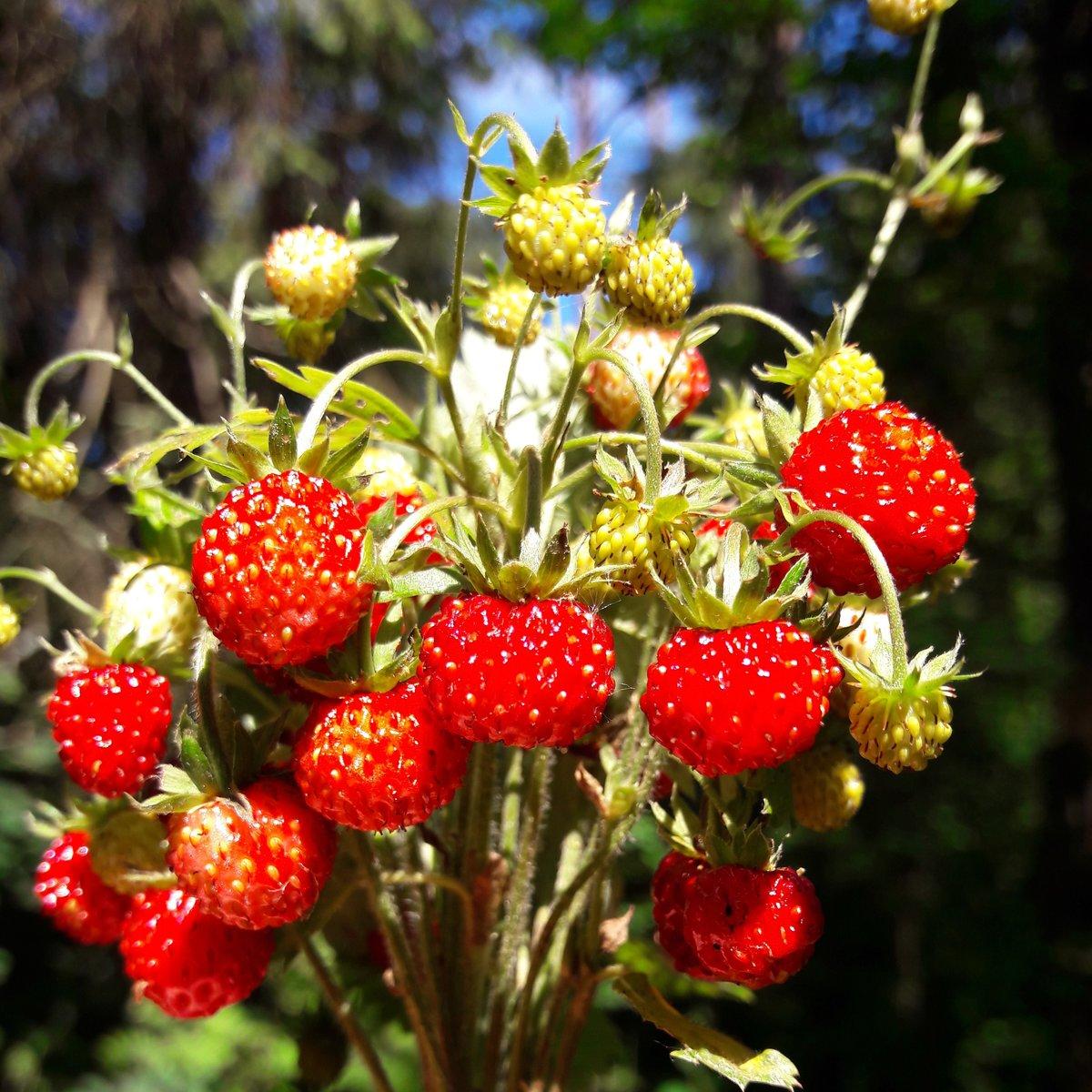 Картинка лесная ягода красивая