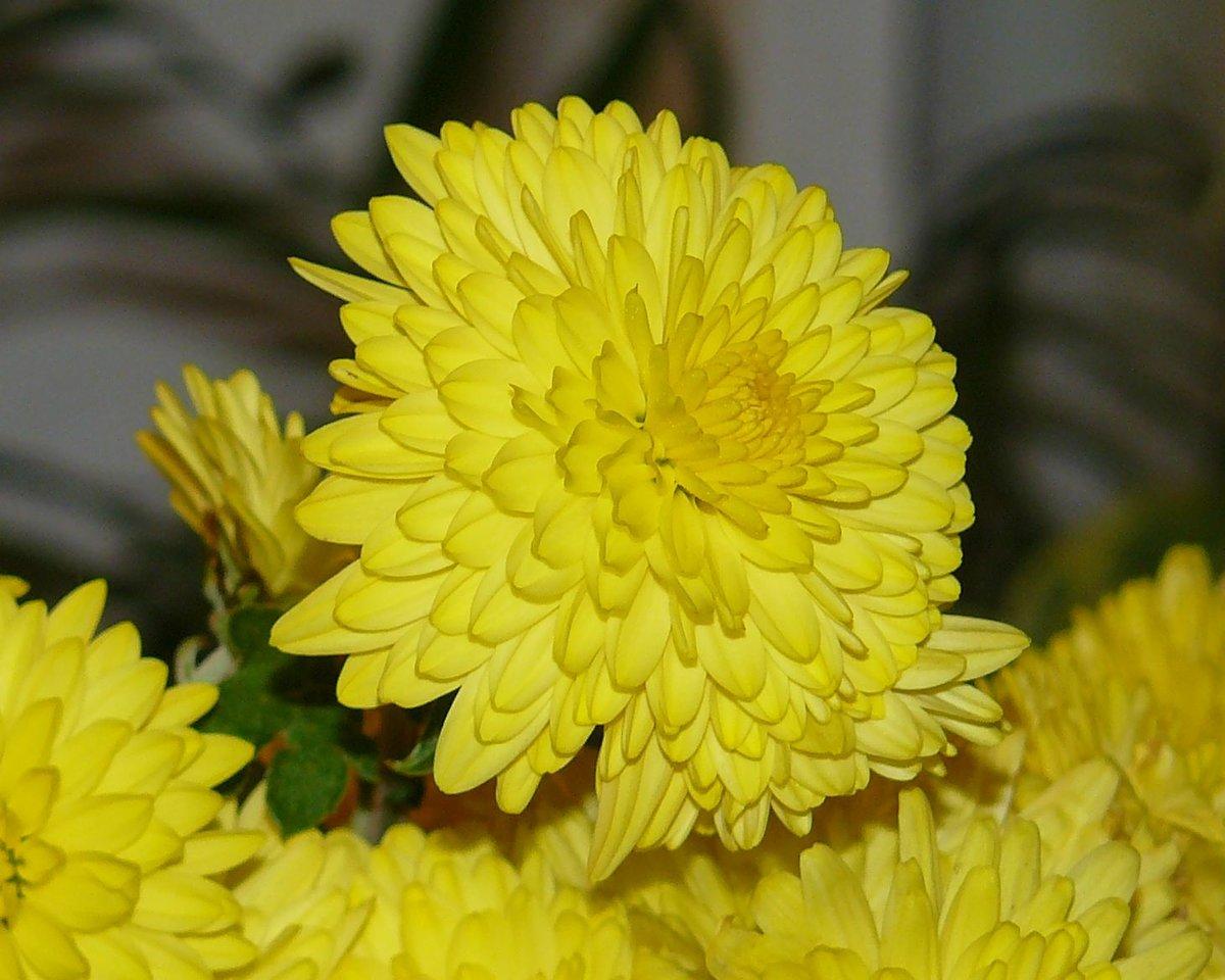 Желтые хризантемы картинки